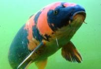 Společenské ryby do jezírek